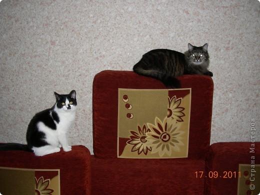 Знакомтесь - это наш кот Степан. Подобрали на улице, т.ч. порода двортерьер. Окрас очень подходит к породе Мейн-Кун, может кто в дальней родне и был. фото 10