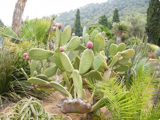 Кактусы, ч 1. Испания. Санта Сусанна.  Ботанический сад.  фото 13
