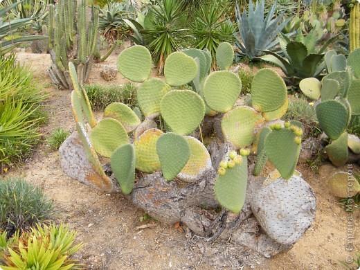 Кактусы, ч 1. Испания. Санта Сусанна.  Ботанический сад.  фото 18