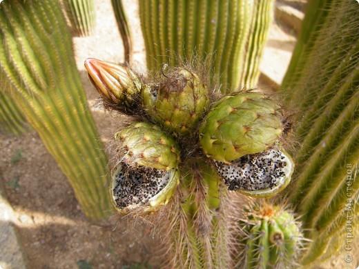 Кактусы, ч 1. Испания. Санта Сусанна.  Ботанический сад.  фото 1