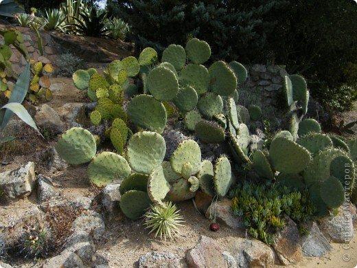 Кактусы, ч 1. Испания. Санта Сусанна.  Ботанический сад.  фото 21