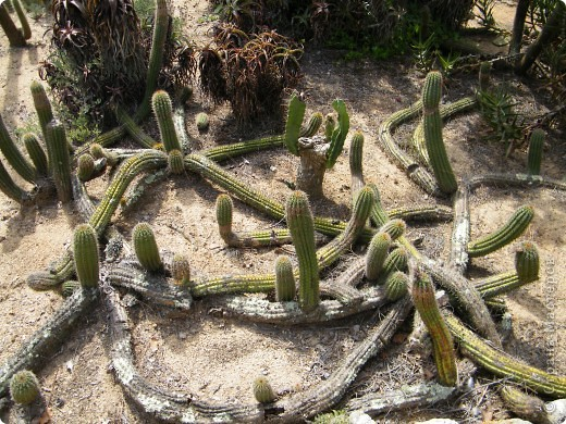 Кактусы, ч 1. Испания. Санта Сусанна.  Ботанический сад.  фото 58