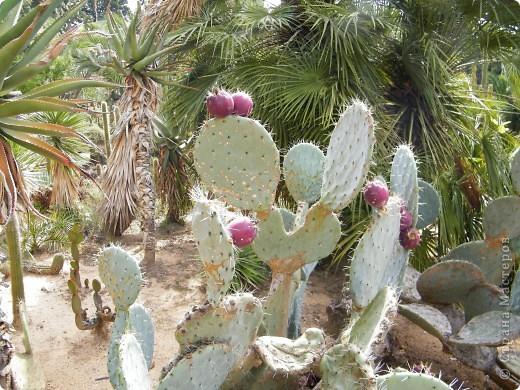 Кактусы, ч 1. Испания. Санта Сусанна.  Ботанический сад.  фото 16