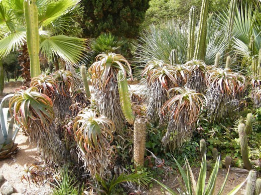Кактусы, ч 1. Испания. Санта Сусанна.  Ботанический сад.  фото 62