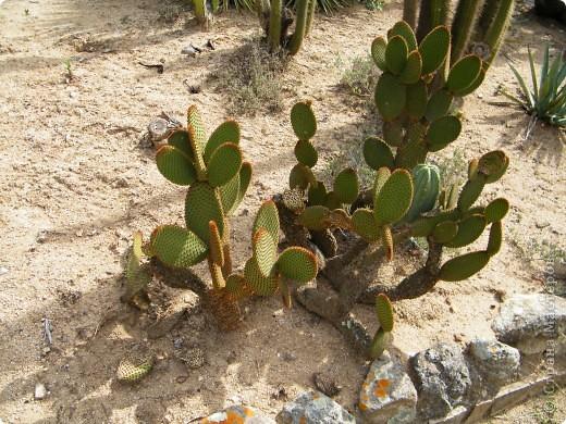 Кактусы, ч 1. Испания. Санта Сусанна.  Ботанический сад.  фото 60