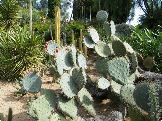 Кактусы, ч 1. Испания. Санта Сусанна.  Ботанический сад.  фото 20