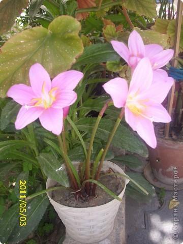 Захотелось поделится цветочками, которые цветут и радуют мой глаз))))))))) фото 1