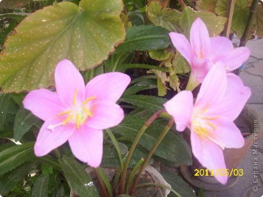 Захотелось поделится цветочками, которые цветут и радуют мой глаз))))))))) фото 2
