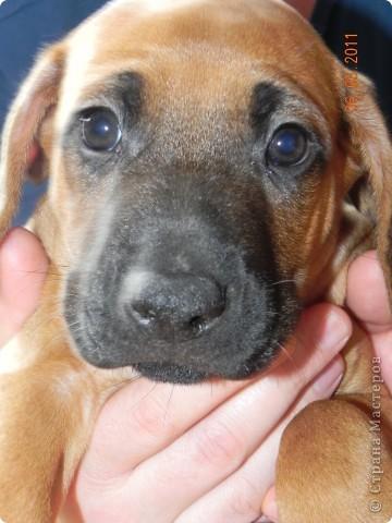 Вот такой малыш,однажды,появился у нас в доме))))...... фото 1