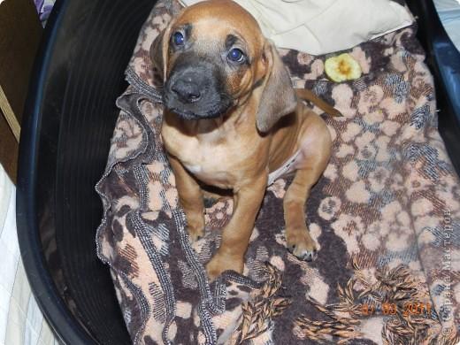 Вот такой малыш,однажды,появился у нас в доме))))...... фото 4