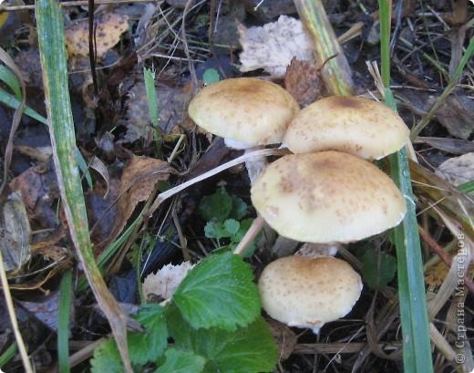 Тихой охотой назвал С. Т. Аксаков сбор грибов. Настоящий грибник, как и охотник, встречает солнце в лесу уже с трофеями. Время, проведенное в увлекательной охоте за грибами,- бодрая зарядка, познание удивительных грибных тайн. фото 15