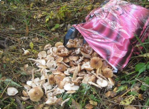 Тихой охотой назвал С. Т. Аксаков сбор грибов. Настоящий грибник, как и охотник, встречает солнце в лесу уже с трофеями. Время, проведенное в увлекательной охоте за грибами,- бодрая зарядка, познание удивительных грибных тайн. фото 18
