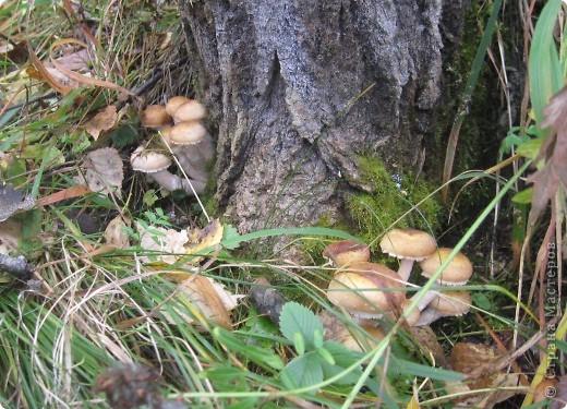 Тихой охотой назвал С. Т. Аксаков сбор грибов. Настоящий грибник, как и охотник, встречает солнце в лесу уже с трофеями. Время, проведенное в увлекательной охоте за грибами,- бодрая зарядка, познание удивительных грибных тайн. фото 10