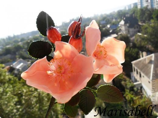 Веточка с нежными цветочками и плодами шиповника.  фото 11