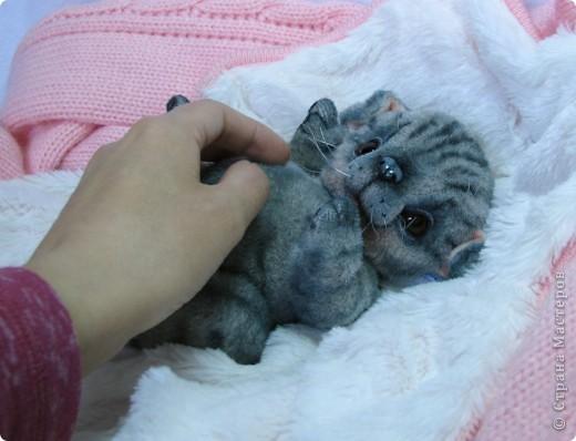 Бывают такие котята, которые буквально висят на маме-кошке и не могут насытиться)) По этому, вырастают упитанными, мурлыкающими от удовольствия, спокойными мылышами. И вот, наглядный примерчик)) Ну как же он любит покушать, и погреться о теплый животик))  фото 5