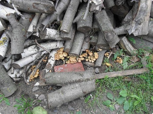 Во дворе лежит куча дров, вчера муж позвал меня и показал этот ПОДАРОК осени. ЗДОРОВО!!! фото 2