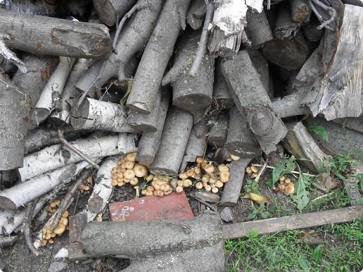 Во дворе лежит куча дров, вчера муж позвал меня и показал этот ПОДАРОК осени. ЗДОРОВО!!! фото 1