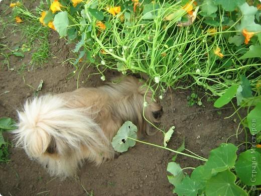 Начну с морковки и с небольшими комментариями. Такая морковка выросла уже в конце июля. Мы живем на севере и погода нас не балует. фото 27