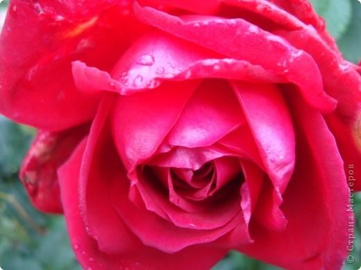 Бывают годы, когда в ночь на 1 сентября у нас уже случается мороз. В этом году сад подаровал, весь сентябрь стояла хоть и дождливая, но теплая погода (в смысле без морозов, для нас это уже хорошо!). Сад продолжал радовать и удивлять не хуже, чем летом. Радости моей нет предела!!!Лакконос созрел, манит своими плодами. фото 6