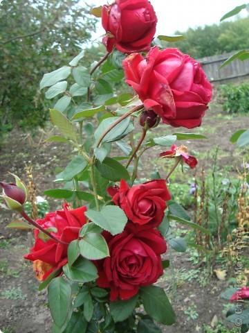 Бывают годы, когда в ночь на 1 сентября у нас уже случается мороз. В этом году сад подаровал, весь сентябрь стояла хоть и дождливая, но теплая погода (в смысле без морозов, для нас это уже хорошо!). Сад продолжал радовать и удивлять не хуже, чем летом. Радости моей нет предела!!!Лакконос созрел, манит своими плодами. фото 10