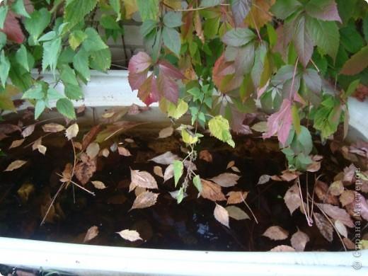 Бывают годы, когда в ночь на 1 сентября у нас уже случается мороз. В этом году сад подаровал, весь сентябрь стояла хоть и дождливая, но теплая погода (в смысле без морозов, для нас это уже хорошо!). Сад продолжал радовать и удивлять не хуже, чем летом. Радости моей нет предела!!!Лакконос созрел, манит своими плодами. фото 29