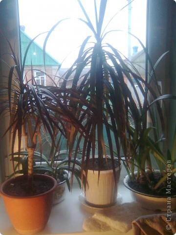 Когда-то подарили драцену, теперь у меня уже несколько растений фото 1