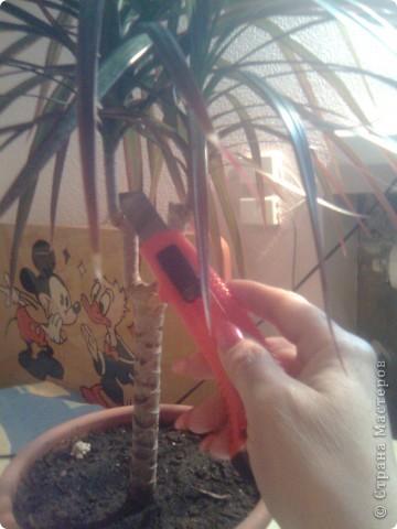 Когда-то подарили драцену, теперь у меня уже несколько растений фото 2