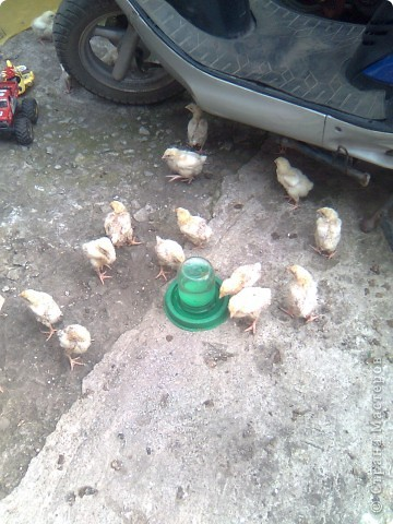 Покупали цыплят и увидели кормушку- обалдели от цены. и решили сделать сами. Я решала, а делал муж. Исходный материал- тазик и пластиковая емкость, кстати все дешевое. фото 3