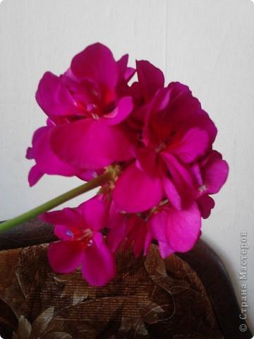 """Я очень люблю герань.Этот цветочек мне подарила моя мамочка.И когда он зацвел меня прямо понесло-""""надо сделать эту красоту"""". фото 3"""