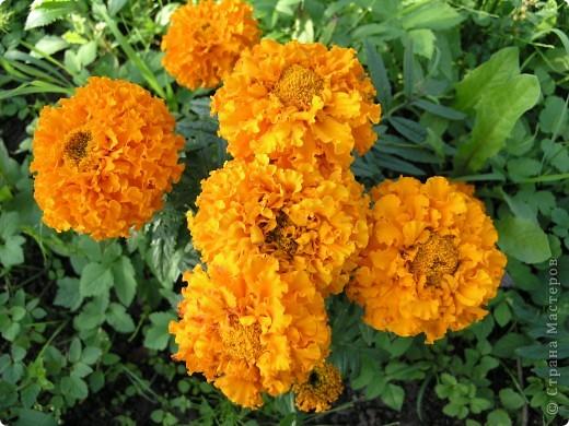 В этом году мой сад весь усыпан яркими солнышками- бархатцеми. Этот сорт , пожалуй, самый эффектный. Каждый цветок напоминает большой яркий апельсин. фото 1