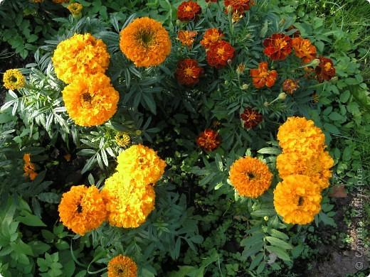 В этом году мой сад весь усыпан яркими солнышками- бархатцеми. Этот сорт , пожалуй, самый эффектный. Каждый цветок напоминает большой яркий апельсин. фото 2