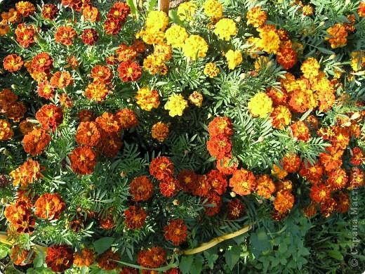 В этом году мой сад весь усыпан яркими солнышками- бархатцеми. Этот сорт , пожалуй, самый эффектный. Каждый цветок напоминает большой яркий апельсин. фото 3