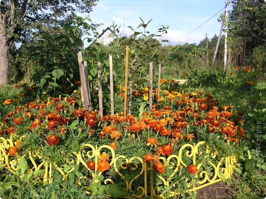 В этом году мой сад весь усыпан яркими солнышками- бархатцеми. Этот сорт , пожалуй, самый эффектный. Каждый цветок напоминает большой яркий апельсин. фото 4