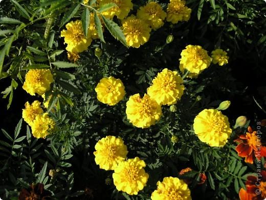 В этом году мой сад весь усыпан яркими солнышками- бархатцеми. Этот сорт , пожалуй, самый эффектный. Каждый цветок напоминает большой яркий апельсин. фото 5
