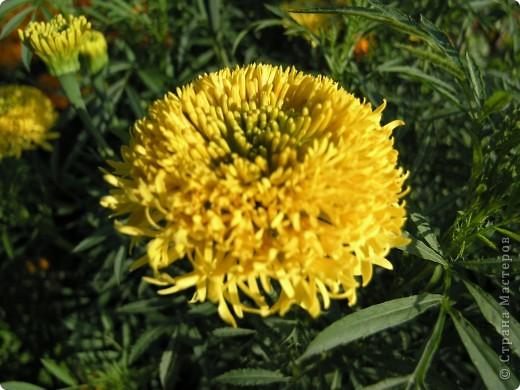 В этом году мой сад весь усыпан яркими солнышками- бархатцеми. Этот сорт , пожалуй, самый эффектный. Каждый цветок напоминает большой яркий апельсин. фото 6