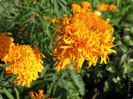 В этом году мой сад весь усыпан яркими солнышками- бархатцеми. Этот сорт , пожалуй, самый эффектный. Каждый цветок напоминает большой яркий апельсин. фото 7