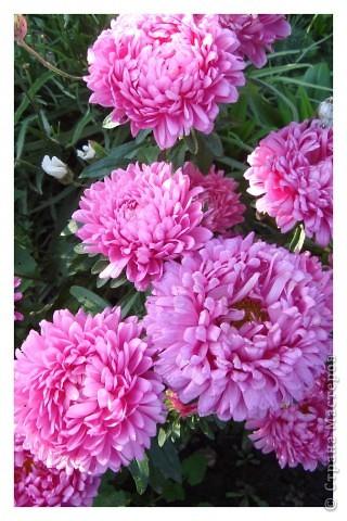 Бывают годы, когда в ночь на 1 сентября у нас уже случается мороз. В этом году сад подаровал, весь сентябрь стояла хоть и дождливая, но теплая погода (в смысле без морозов, для нас это уже хорошо!). Сад продолжал радовать и удивлять не хуже, чем летом. Радости моей нет предела!!!Лакконос созрел, манит своими плодами. фото 25