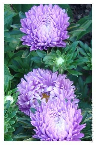 Бывают годы, когда в ночь на 1 сентября у нас уже случается мороз. В этом году сад подаровал, весь сентябрь стояла хоть и дождливая, но теплая погода (в смысле без морозов, для нас это уже хорошо!). Сад продолжал радовать и удивлять не хуже, чем летом. Радости моей нет предела!!!Лакконос созрел, манит своими плодами. фото 24