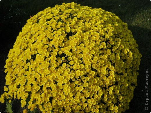 Всем любителям цветов хочу предложить прощальный парад цветов. фото 2