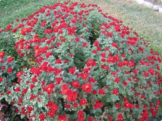 Всем любителям цветов хочу предложить прощальный парад цветов. фото 3
