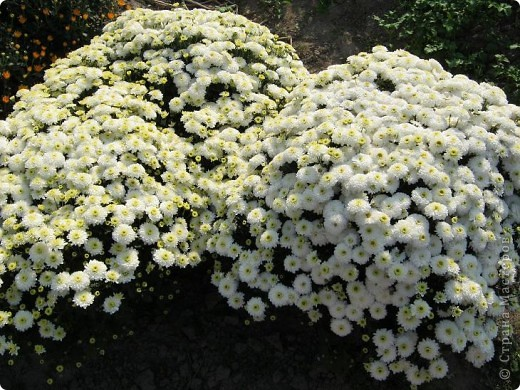 Всем любителям цветов хочу предложить прощальный парад цветов. фото 8