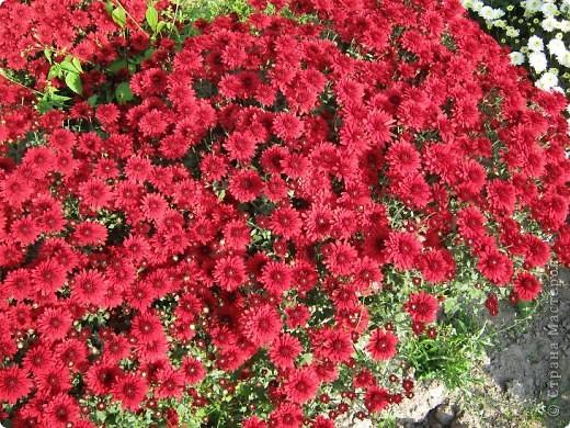 Всем любителям цветов хочу предложить прощальный парад цветов. фото 9