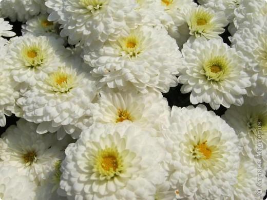 Всем любителям цветов хочу предложить прощальный парад цветов. фото 10