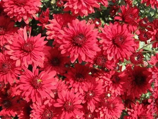 Всем любителям цветов хочу предложить прощальный парад цветов. фото 11