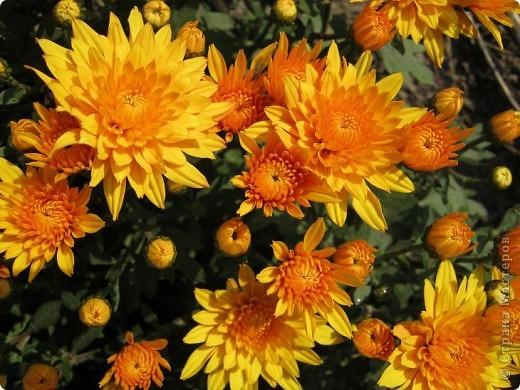 Всем любителям цветов хочу предложить прощальный парад цветов. фото 15