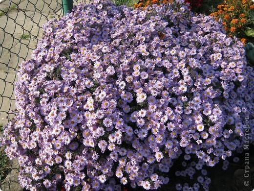 Всем любителям цветов хочу предложить прощальный парад цветов. фото 16