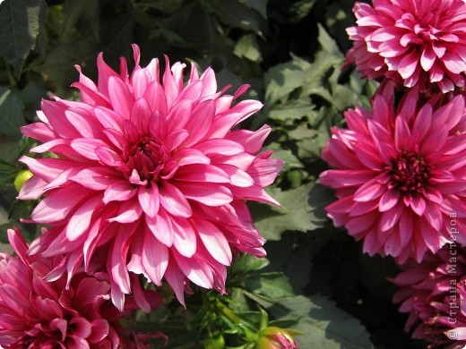 Всем любителям цветов хочу предложить прощальный парад цветов. фото 18