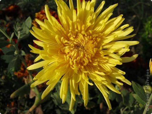 Всем любителям цветов хочу предложить прощальный парад цветов. фото 19