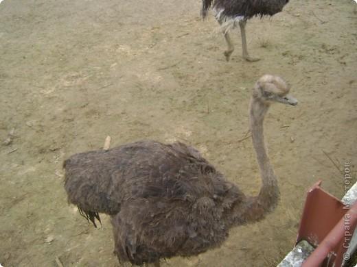 Вчера (29 октября)у нас была экскурсия на страусиную ферму,а потом мы переехали в заповедную зону где занимаются разведением зубров.Это всё находится около г.Чехов и Серпухов фото 3