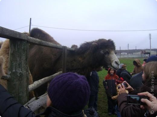 Вчера (29 октября)у нас была экскурсия на страусиную ферму,а потом мы переехали в заповедную зону где занимаются разведением зубров.Это всё находится около г.Чехов и Серпухов фото 12